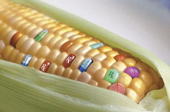 gmo-corn-kernels