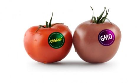 organic_gmo_tomatoes1